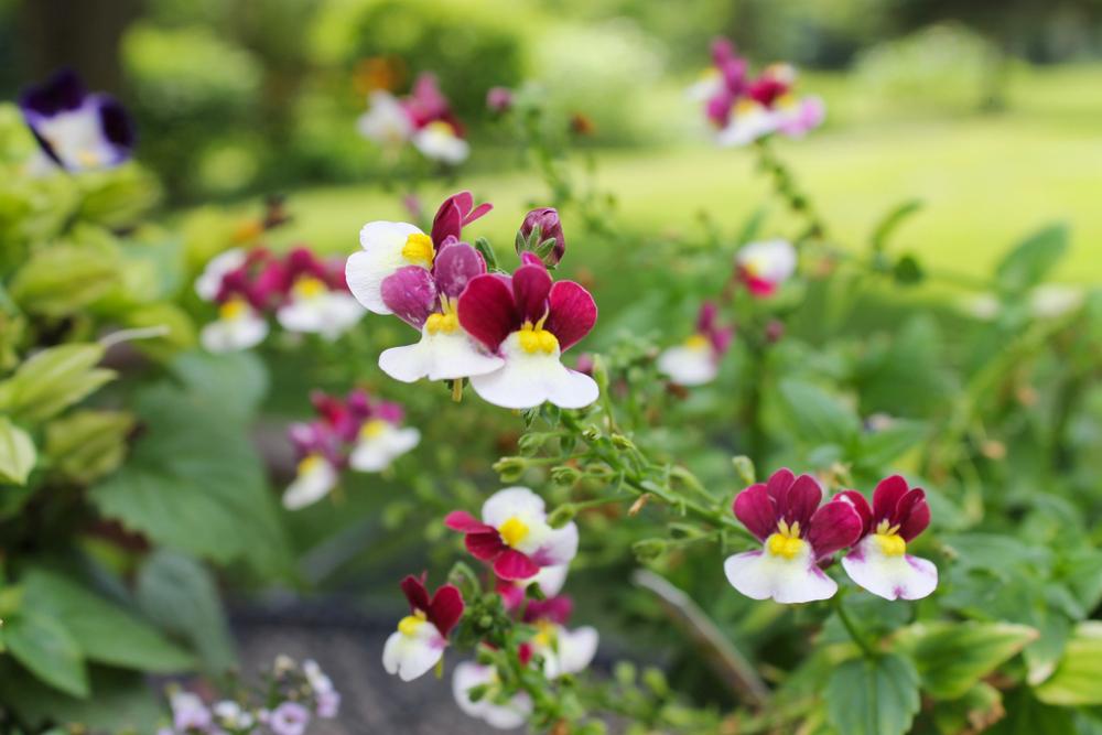Nemesia Flower