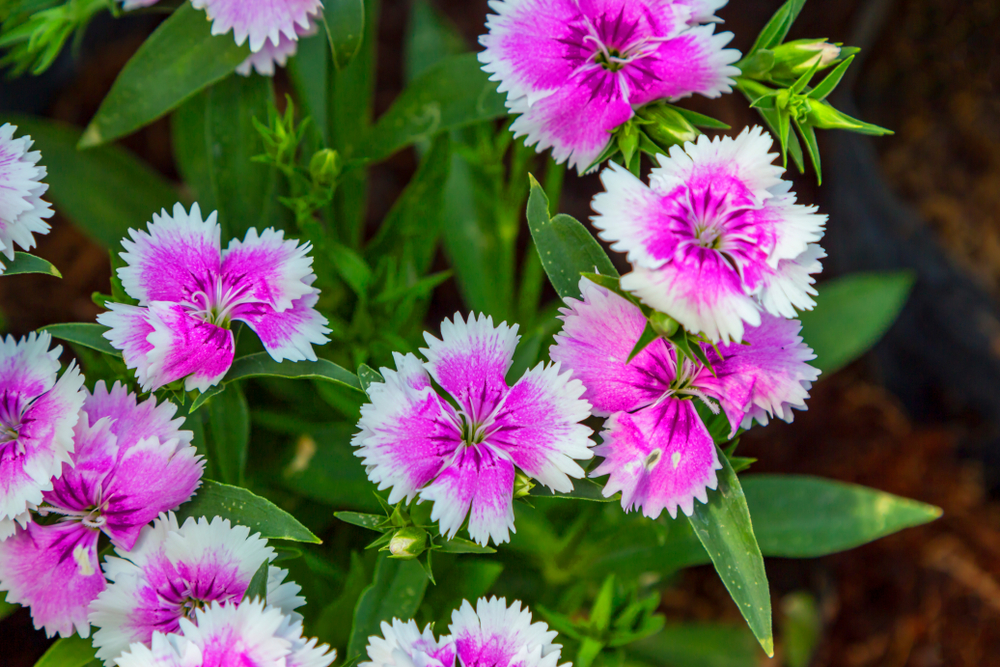 Sweet William Pinks