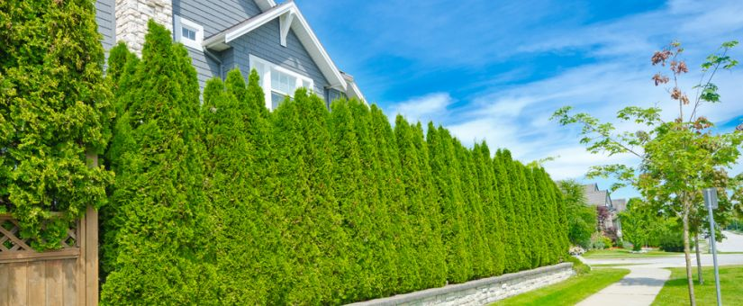 5 Benefits Of Fast Growing Privacy Hedges Plant Professionals